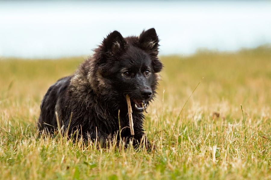 """Akira"" Finnischer Lapphund"