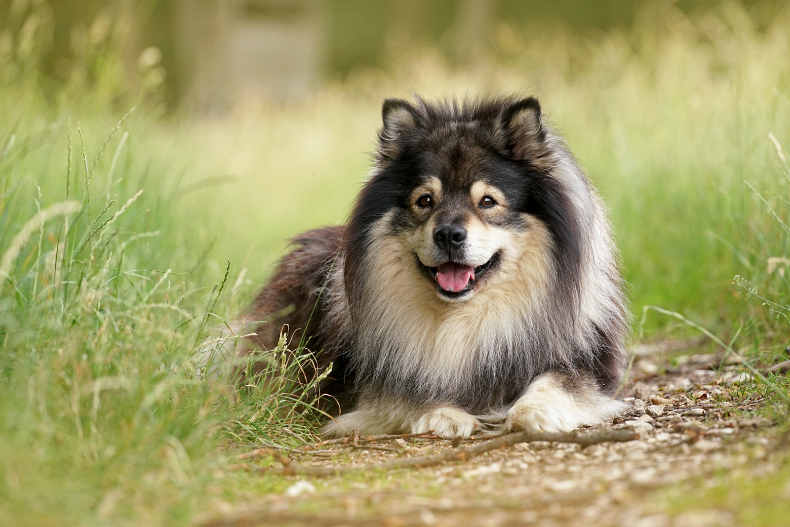 Lapphund Mika